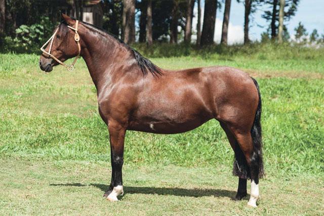 Leilão Laço de Ouro Fenii - Lance Antecipado - GUAPA DO CAPÃO DA CRUZ, SB B386265